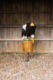 Bald eagle Stock Images