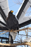 Bald eagle. An Eagle standing on the tree branch, in the cage at zoo Royalty Free Stock Photos