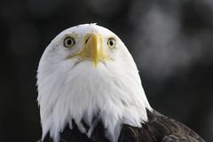 Bald eagle staring. On dark background Royalty Free Stock Photos