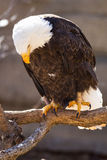 Bald eagle staring down on fish Royalty Free Stock Photography