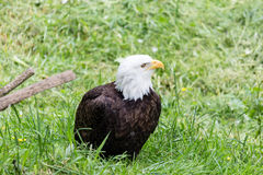 Bald eagle Royalty Free Stock Photo