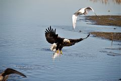 Bald Eagle starting to land in the shallowes stock images