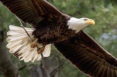 Bald Eagle with a stick Stock Photos