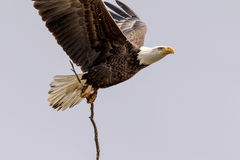 Bald Eagle with a stick Royalty Free Stock Images