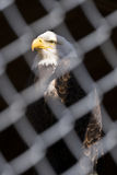 A bald eagle in strength and dignity pose behind chain fence, fa Stock Images