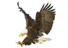 Bald eagle swoop attack hand draw and paint color on white background vector. royalty free illustration