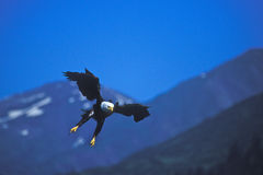 Bald Eagle Swooping In Stock Image