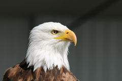 Bald Eagle - Symbol of Power and Strength. The awe-inspiring power of the bald eagle is evident in this tight close-up of the symbol of American strength and Royalty Free Stock Photography