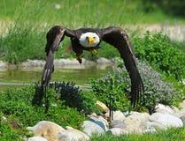 Bald Eagle Takes off Stock Image