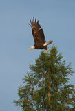 Bald Eagle Taking Flight Royalty Free Stock Image