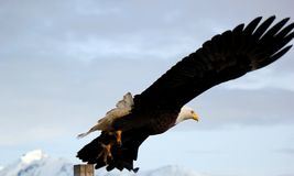 Bald Eagle taking flight in Homer Alaska Royalty Free Stock Photos