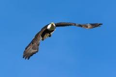 Bald Eagle Taking Flight Stock Photos