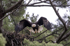 Bald Eagle taking flight Royalty Free Stock Photos