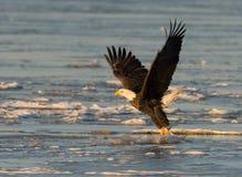 Bald eagle taking flight Stock Images