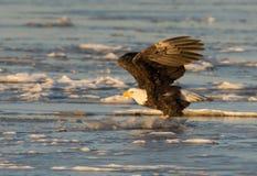Bald eagle taking flight Stock Photo