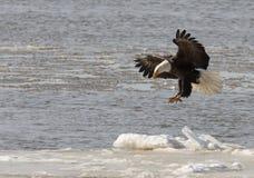 Bald eagle taking flight Royalty Free Stock Image