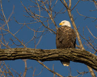Bald eagle taking flight Royalty Free Stock Photography