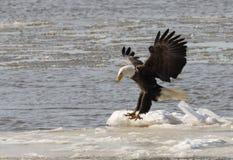Bald eagle taking flight Royalty Free Stock Photo
