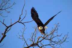 Bald Eagle taking Flight Stock Photos