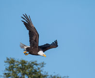 Bald eagle taking flight from a tree Stock Photos