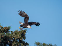 Bald eagle taking flight from a tree Stock Images