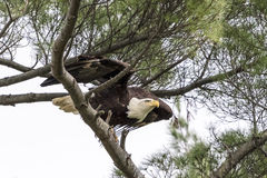 Bald Eagle taking off from a branch Stock Photos