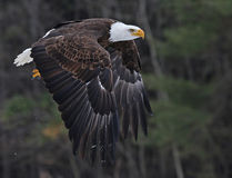 Bald Eagle Taking Off Royalty Free Stock Photos
