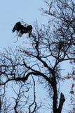Bald eagle taking off Stock Photo