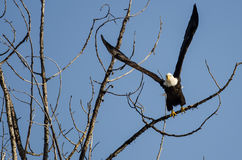 Bald Eagle Taking to Flight from the Barren Winter Tree Stock Photos
