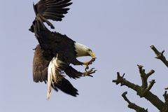 Bald Eagle With Talons. An American bald eagle preparing to land on a branch. It's wings are used for braking and its talons are ready to grasp the branch on royalty free stock image