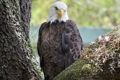 Bald eagle. The bald eagle (Haliaeetus leucocephalus, from Greek hali sea, aiētos eagle, leuco white, cephalos head) is a bird of prey found in North America. A Stock Photo