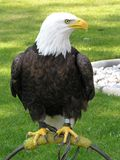 Bald Eagle Tethered. A captive bald eagle Royalty Free Stock Photography