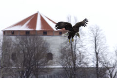 Bald Eagle about to land. Royalty Free Stock Photos