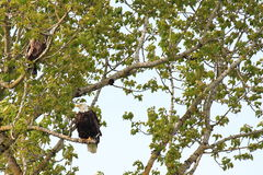 Bald Eagle in tree. A bald Eagle in a tree near it's nest Stock Photos