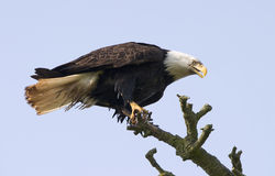 Bald Eagle In Tree. An American bald eagle perched in a tree branch just after landing. The eyes and talons are clear and sharp royalty free stock photo