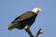 Bald Eagle On Tree. An American bald eagle perched on a branch at the top of a tree. This image shows off the claws (or talons) that are clutching the branch as stock photography