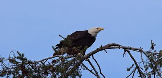 A Bald Eagle on the tree royalty free stock image