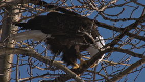 Bald eagle on tree branches. Video of bald eagle on tree branches stock footage