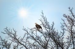 Bald Eagle in a tree enjoying the sunlight Royalty Free Stock Photo