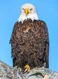 Bald Eagle on Tree, Kenai Peninsula, Alaska Stock Photos