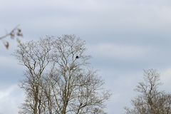 Bald eagle on a tree limb. A bald eagle perched on a tree limb royalty free stock photography