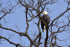 A Bald Eagle in a Tree Royalty Free Stock Photography