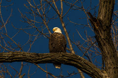 Bald Eagle in a tree Royalty Free Stock Photo