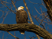 Bald Eagle in a tree Royalty Free Stock Image