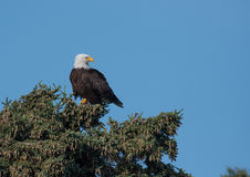 Bald eagle in a tree Royalty Free Stock Photos