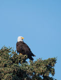 Bald eagle in a tree Stock Photo