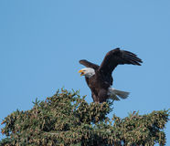 Bald eagle in a tree Stock Image