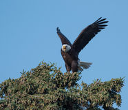 Bald eagle in a tree Stock Photos