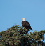 Bald eagle in a tree Stock Images