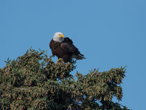 Bald eagle in a tree Royalty Free Stock Images